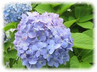 梅雨の花、あじさい ~くれよん通信~